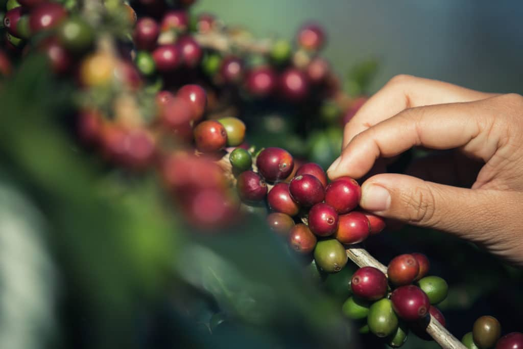 planta cafe sostenible